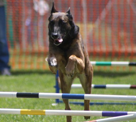 Cali at her first agility trial, on her 12th birthday