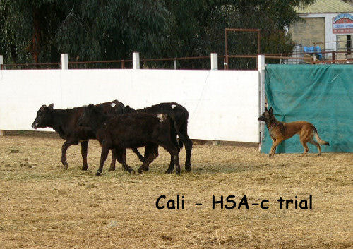 Cali - HSAs course on cattle