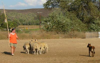 Cali herding during a lesson