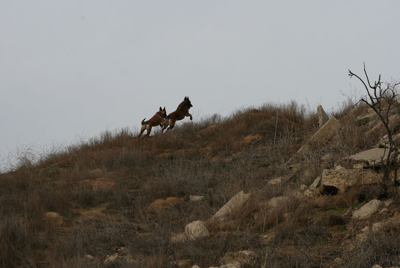 Cali and Nexxus headed over the hill after rabbits
