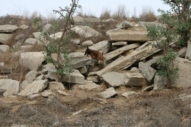 Cali (10.75 yr) hunting rabbits on the rubble pile