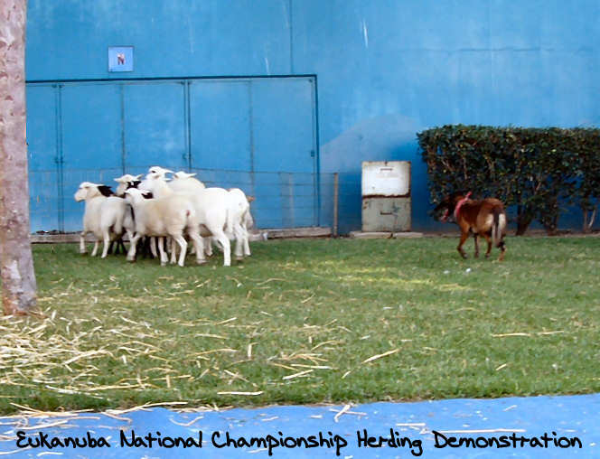 2006 Eukanuba Natl Champ Herding Demonstration