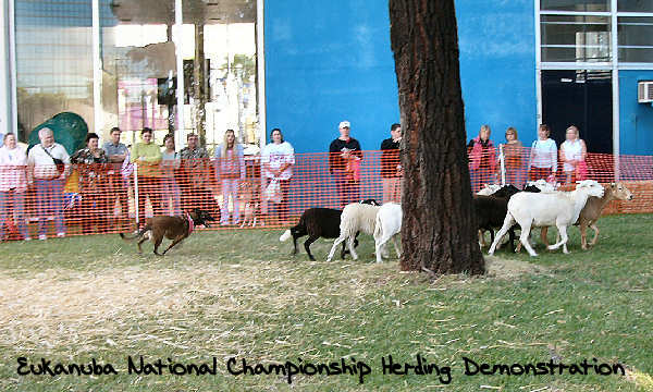 2006 Eukanuba Natl Champ Herding Demonstration
