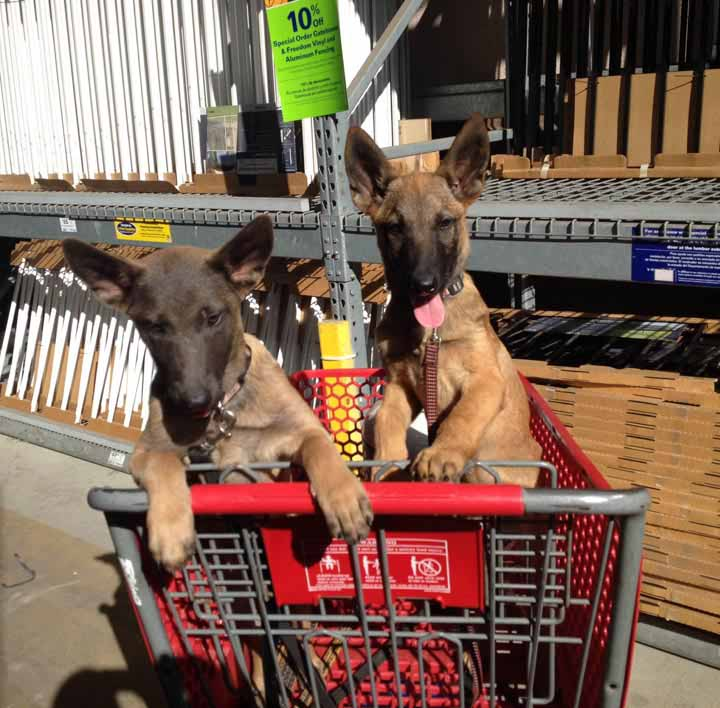 Indy and Fumbles socializing in Lowes 3 months old
